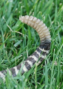 This, in various sizes and shapes, is what a rattlesnake tail looks like. If it's smooth to the tip with not even a nub, it's probably a gopher snake. Don't kill gopher snakes!