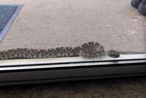This snake made several passes, trying to get through the glass. This is how CLOSE they are to us.